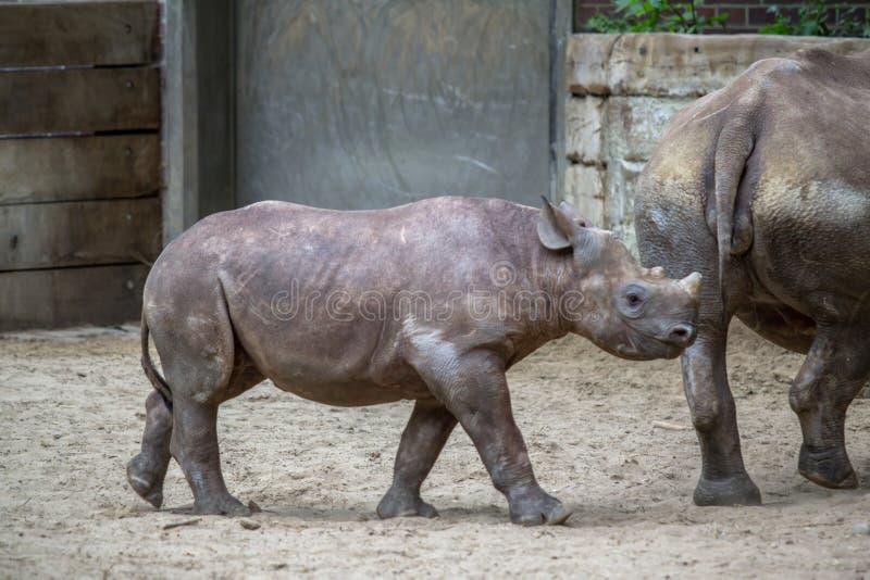 Rinoceronte indio en un parque zoológico, Berlín del bebé imagen de archivo libre de regalías