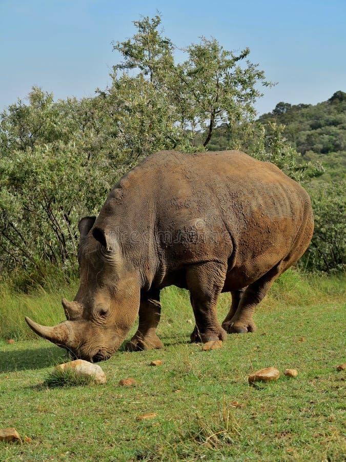 Rinoceronte muito perto do fotógrafo no habitat bonito da natureza imagem de stock royalty free