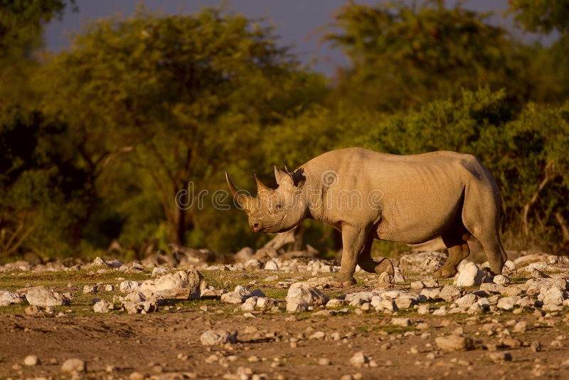 Rinoceronte negro fotos de archivo