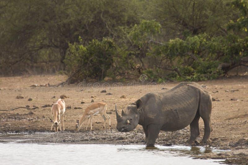 Rinoceronte negro africano salvaje que cruza el río, kruger, ZA imagenes de archivo