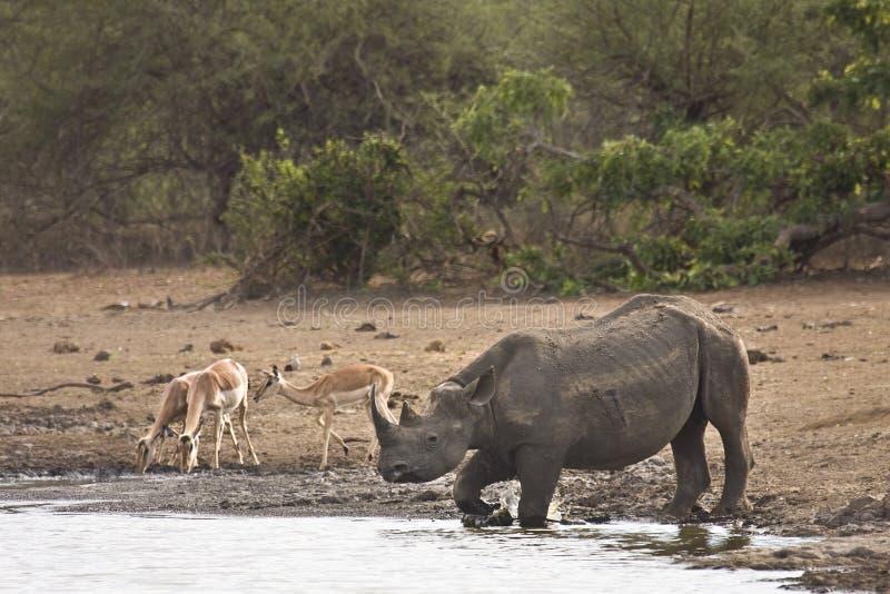 Rinoceronte negro africano salvaje que cruza el río, kruger, ZA fotos de archivo