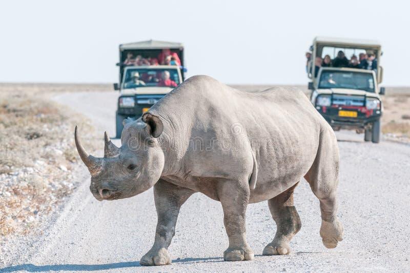 Rinoceronte negro con los vehículos del safari con los turistas en la parte posterior fotografía de archivo libre de regalías