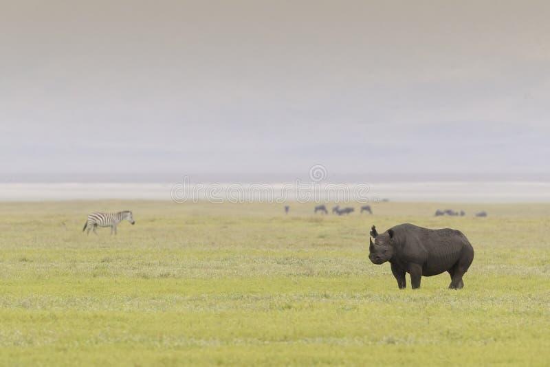 Rinoceronte negro en el cráter de Ngorongoro foto de archivo