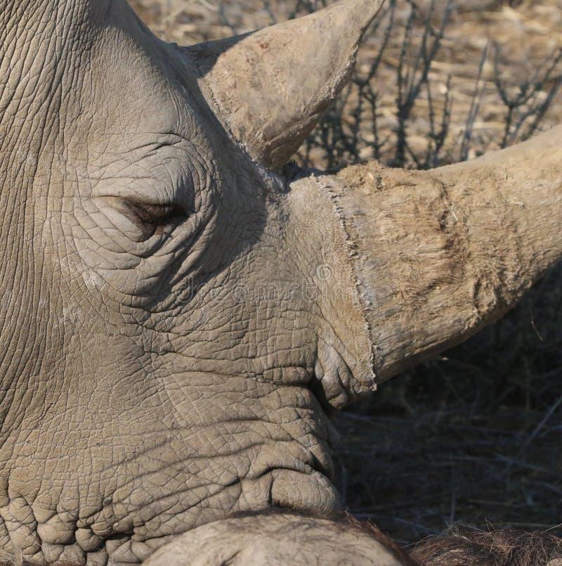 Rinoceronte negro en Namibia imagenes de archivo