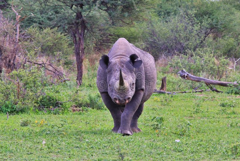 Rinoceronte negro especie rara y en peligro de Bull - - el paseo para la vida imagen de archivo