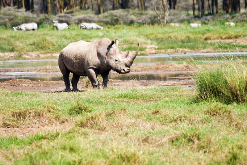 Rinoceronte nel lago Nakuru National Park fotografia stock