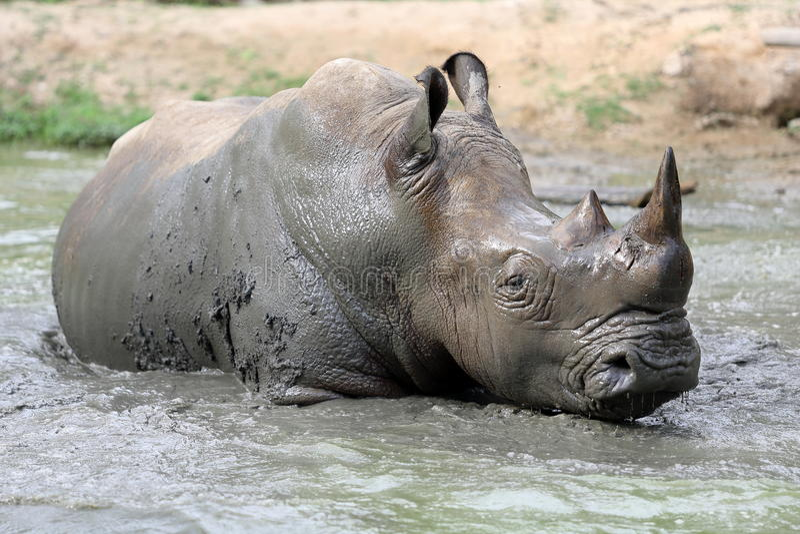 Rinoceronte nell'acqua fangosa immagine stock
