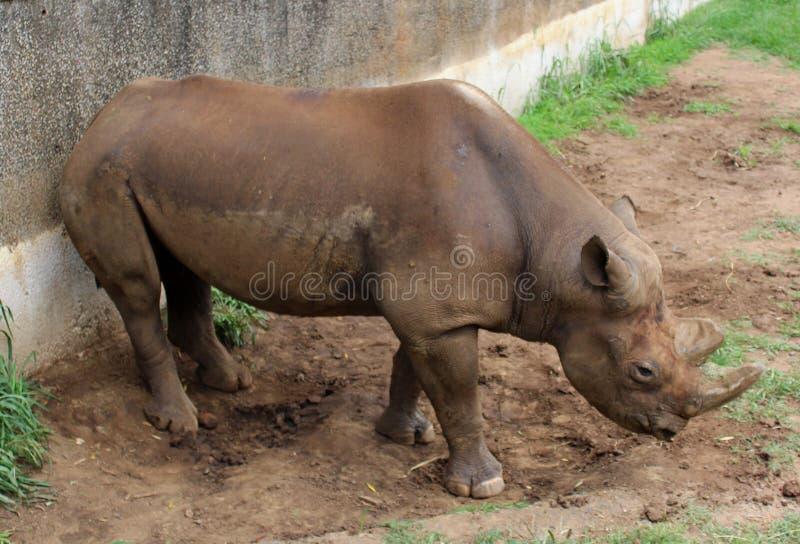 Rinoceronte nero allo ZOO Pretoria, Sudafrica fotografia stock libera da diritti