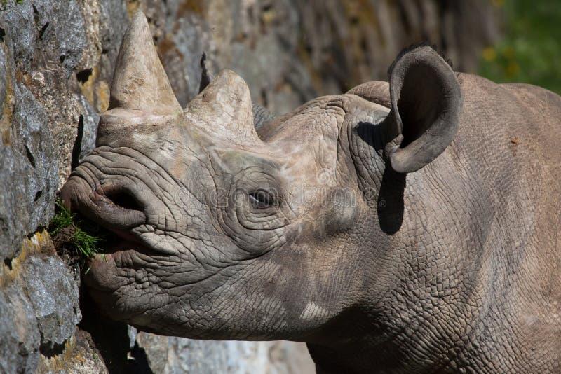 Rinoceronte nero (bicornis del Diceros) fotografie stock libere da diritti