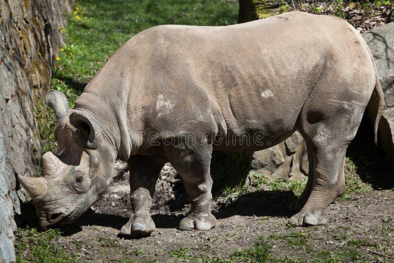 Rinoceronte nero (bicornis del Diceros) fotografia stock