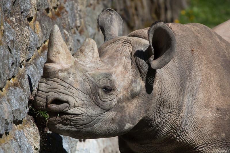 Rinoceronte nero (bicornis del Diceros) immagine stock