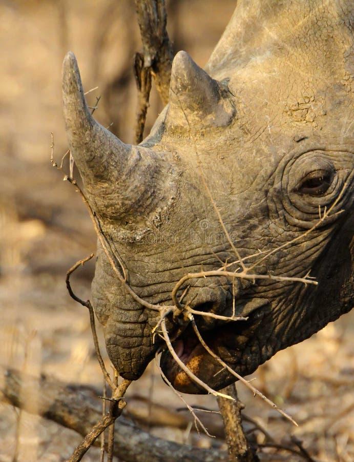 Rinoceronte nero sudafricano immagini stock libere da diritti