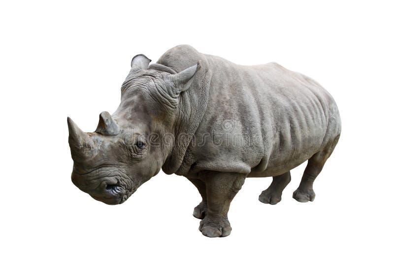 Rinoceronte no fundo branco imagens de stock