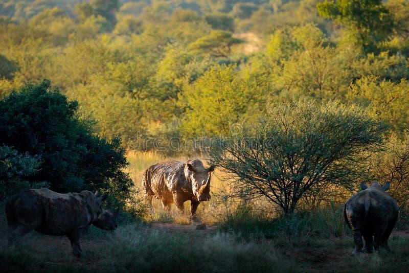 Rinoceronte no habitat da floresta Rinoceronte branco, simum do Ceratotherium, com chifres, no habitat da natureza, Pilanesberg,  fotos de stock royalty free