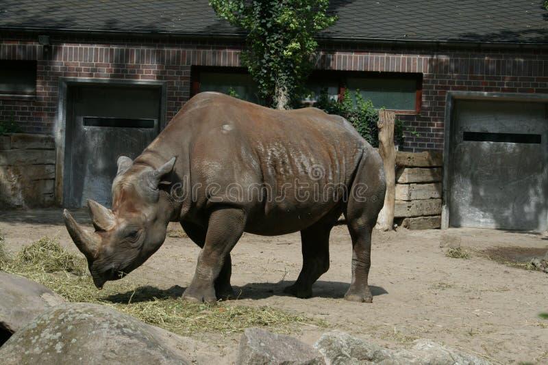 Rinoceronte no jardim zoológico imagem de stock royalty free