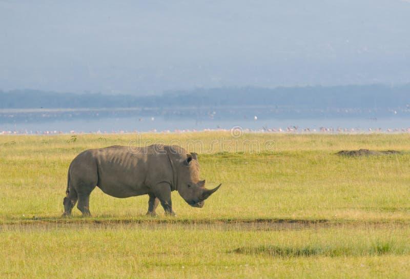 Rinoceronte no nakuru do lago, kenya imagens de stock