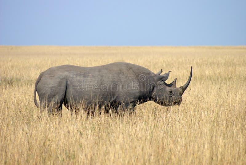 Rinoceronte no parque nacional de Tanzânia fotografia de stock