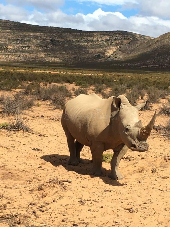 Rinoceronte no safari fotografia de stock royalty free