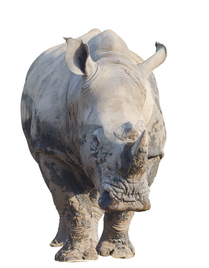 Rinoceronte o rinoceronte aislado con la trayectoria de recortes fotografía de archivo