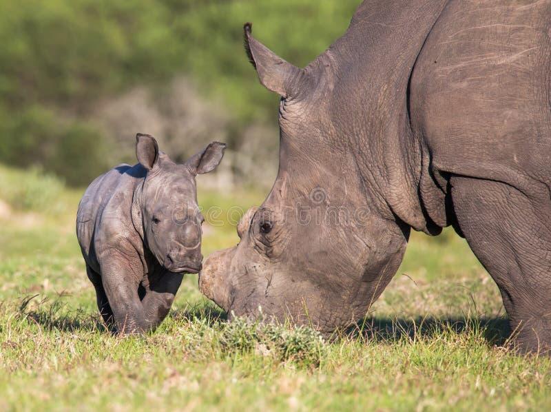 Rinoceronte ou rinoceronte do bebê imagens de stock royalty free