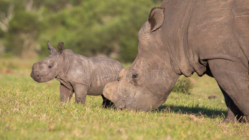 Rinoceronte ou rinoceronte do bebê foto de stock royalty free