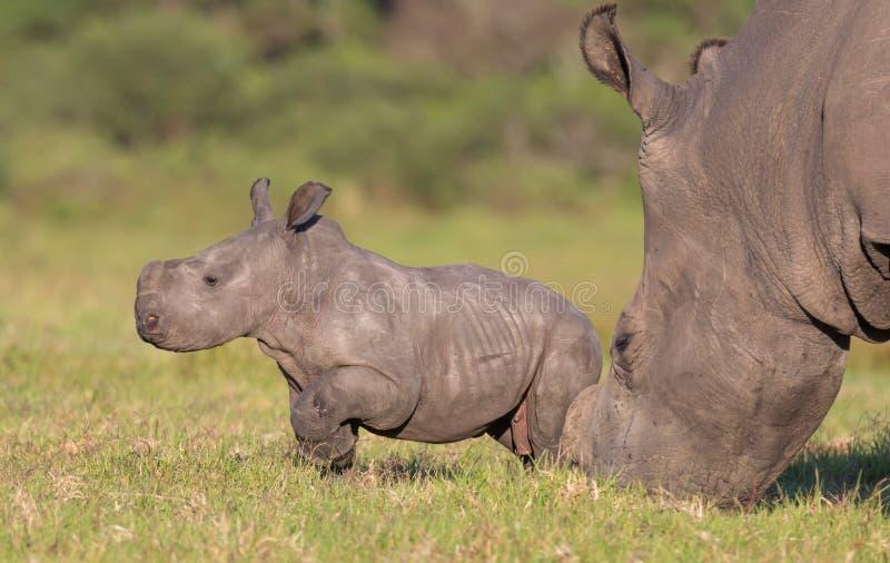 Rinoceronte ou rinoceronte do bebê fotografia de stock