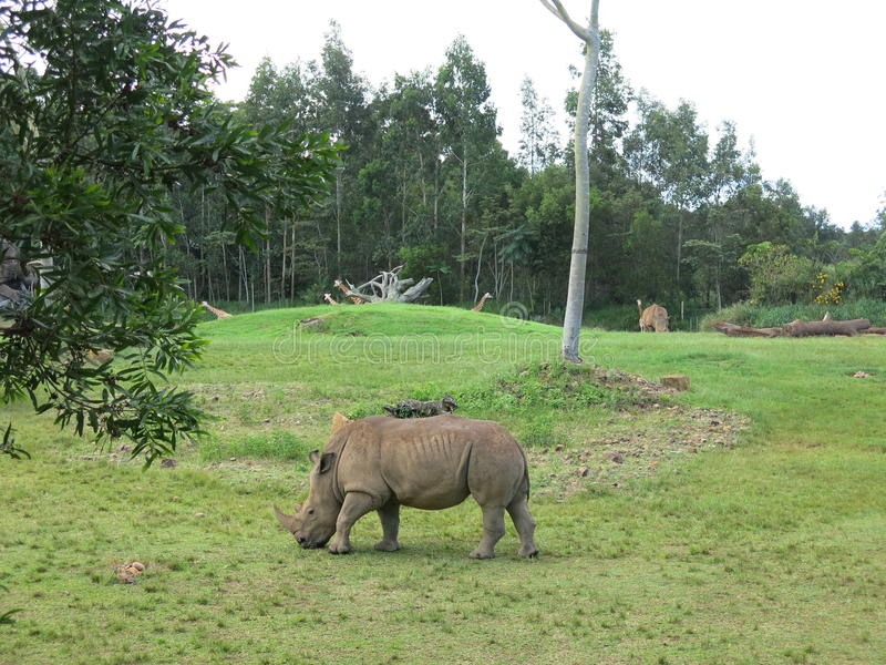 Rinoceronte in parco fotografie stock libere da diritti