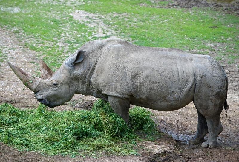 Rinoceronte, più grandi animali remeining di megafauna immagine stock