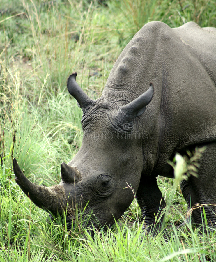 Rinoceronte preto africano foto de stock