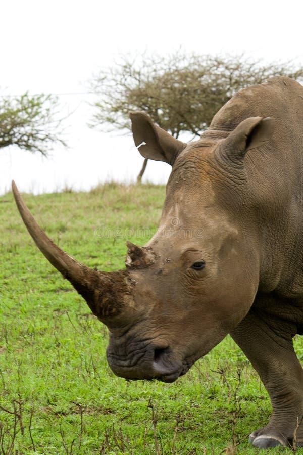 Rinoceronte preto africano imagem de stock royalty free