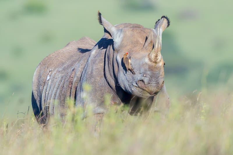 Rinoceronte preto cegado por Oxpecker faturado vermelho fotos de stock