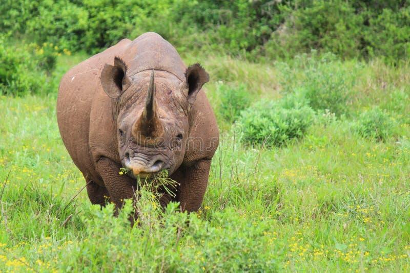 Rinoceronte preto em Addo Elephant National Park - África do Sul fotografia de stock