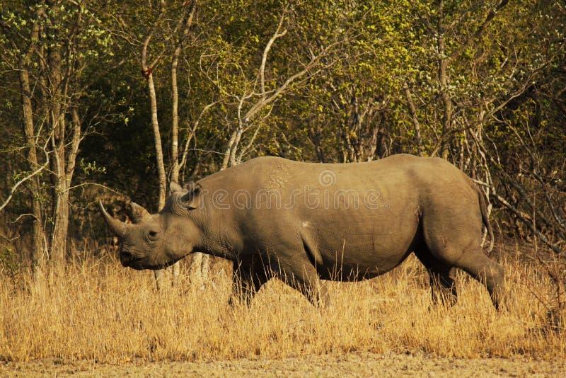 Rinoceronte preto em uma missão fotografia de stock
