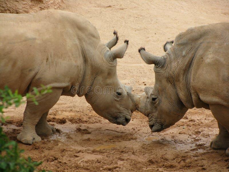 Rinoceronte que bloquea los claxones foto de archivo