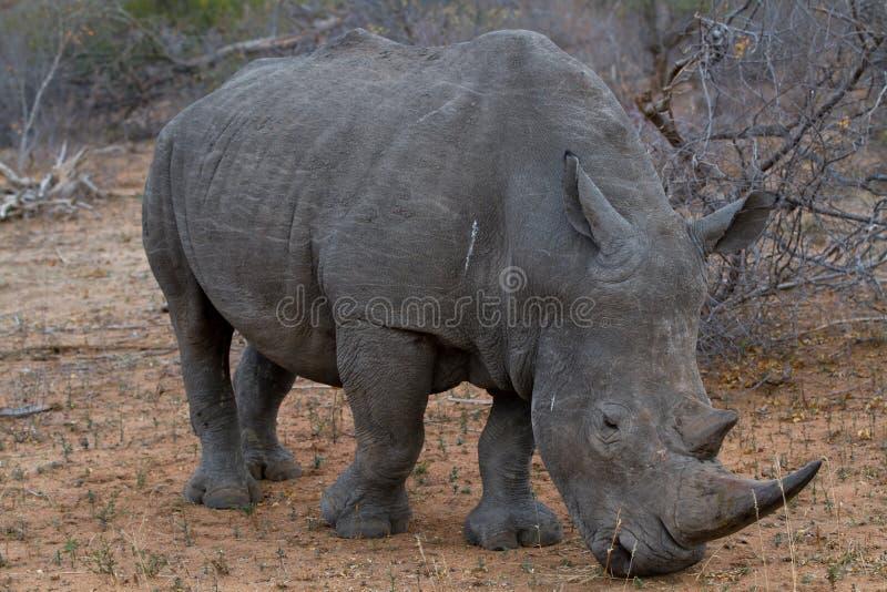 Rinoceronte que come a grama fotos de stock