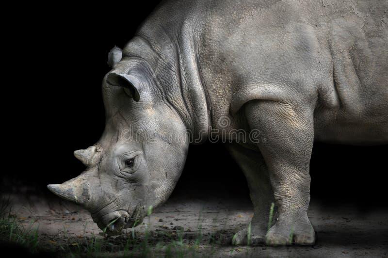 Rinoceronte que dobla abajo para comer foto de archivo