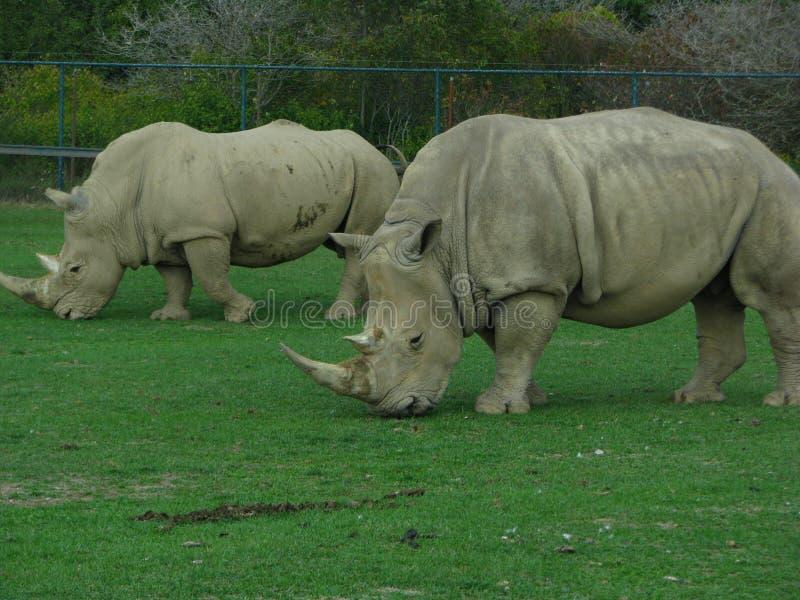 Rinoceronte 2 que mira como dinosaurios el parque zoológico imágenes de archivo libres de regalías