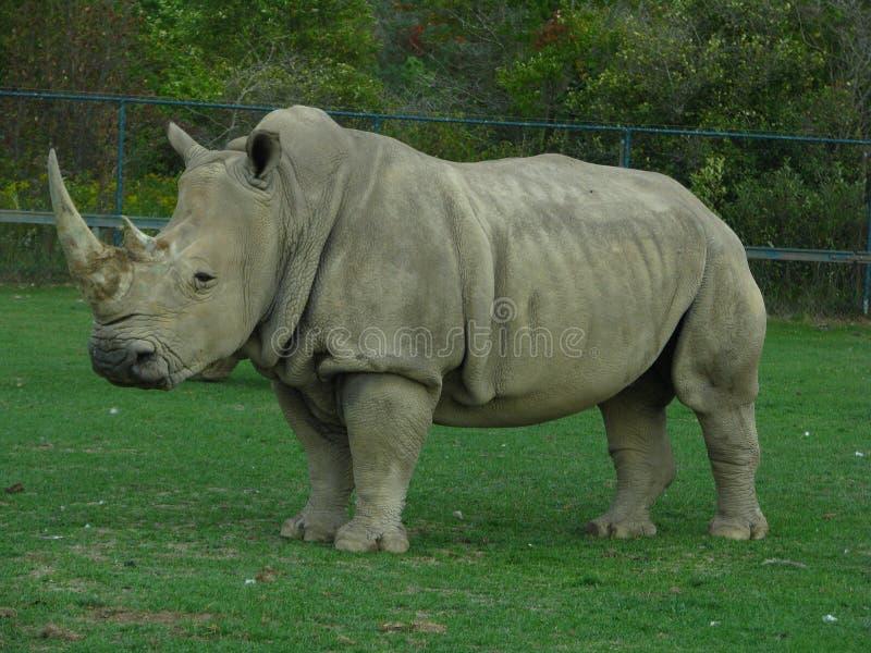 Rinoceronte que olha como o dinossauro no jardim zoológico fotografia de stock royalty free