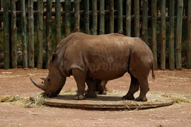 Rinoceronte que pasta fotografía de archivo