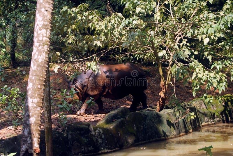 Rinoceronte salvaje asiático imágenes de archivo libres de regalías