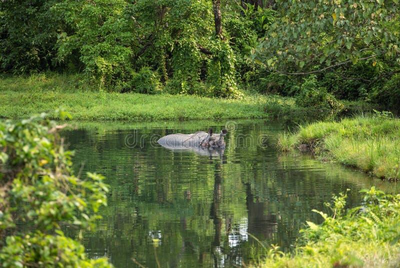 Rinoceronte selvaggio che bagna nel fiume nel parco nazionale di Jaldapara immagini stock libere da diritti