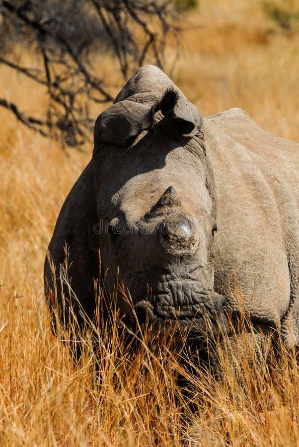 Rinoceronte senza corno fotografia stock libera da diritti