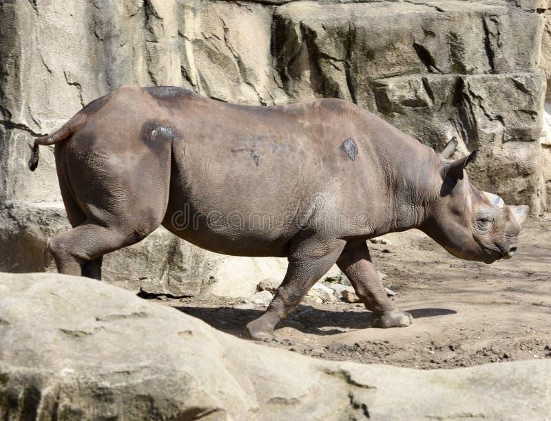 Rinoceronte sul vagare in cerca di preda immagini stock libere da diritti