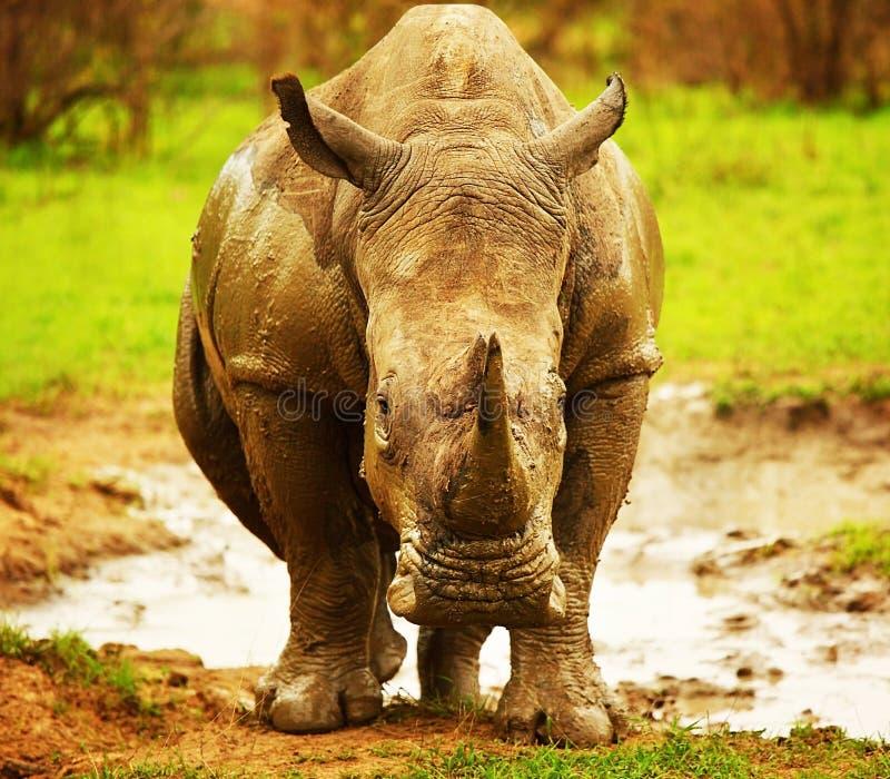 Rinoceronte surafricano enorme foto de archivo