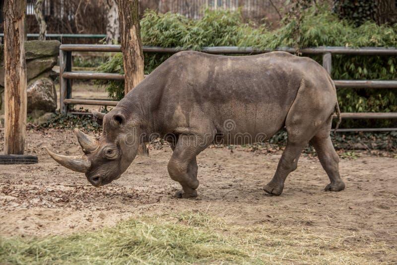 Rinoceronte sveglio del bambino allo zoo a Berlino immagini stock
