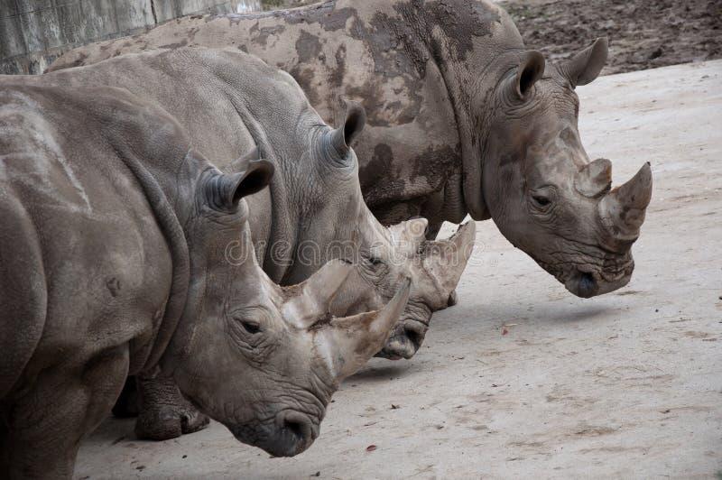 Rinoceronte três fotos de stock royalty free