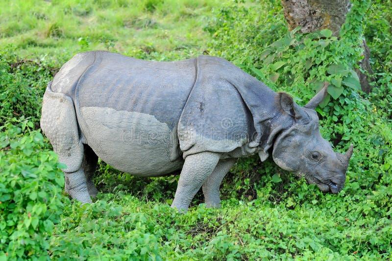 Rinoceronte um-horned asiático imagens de stock royalty free