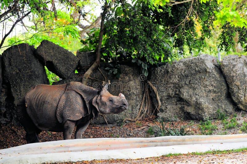 rinoceronte Um-horned no jardim zoológico fotografia de stock