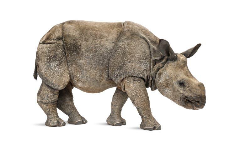 Rinoceronte uno-de cuernos indio joven (8 meses) fotografía de archivo