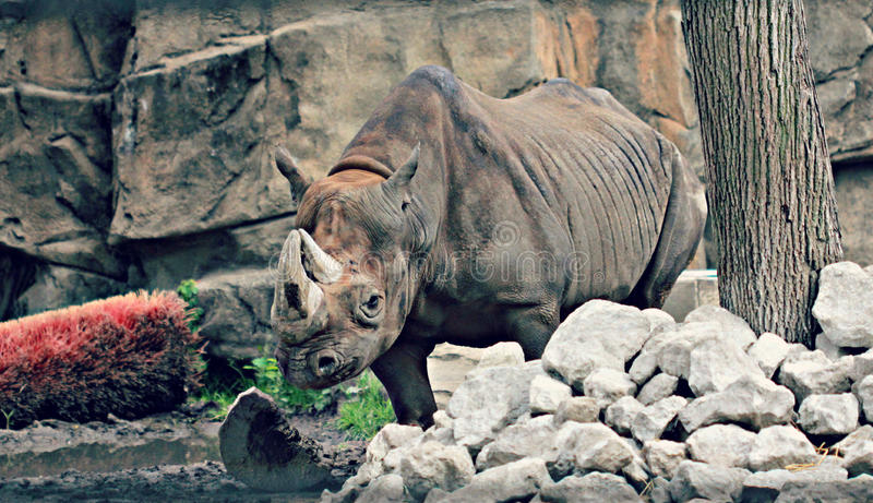 Rinoceronte in zoo fotografia stock libera da diritti